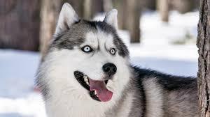 Dünyanın en tehlikeli 10 köpek türü