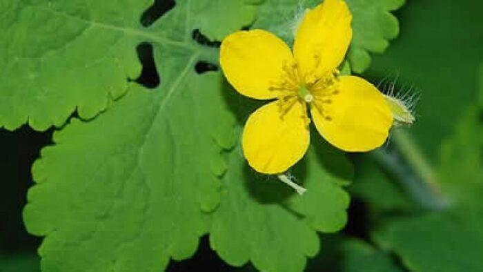 kırlangıç bitkisinin göz hastalıklarına faydaları1
