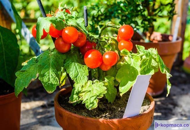 saksıda domates nasıl yetiştirilir?