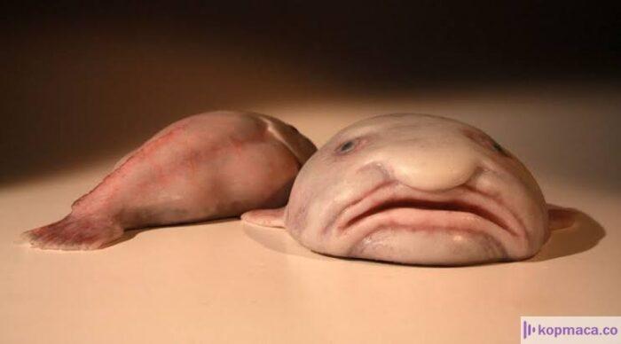 dünyanın en çirkin hayvanı hangisidir? dünyanın en çirkin hayvanı adı nedir? dünyanın en çirkin hayvanı seçilen damla balığı (blobfish) hakkında tüm detaylar sizlerle..