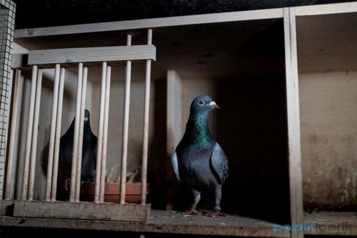 dünyanın en pahalı yarış güvercini 'new kim' oldu