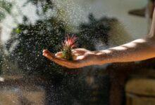 hava çiçeği nedir nasıl yetiştirilir